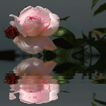 Beautiful Pink Rose LWP ratings and reviews, features, comparisons, and app alternatives