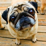 Playful Pugs Live Wallpaper ratings and reviews, features, comparisons, and app alternatives